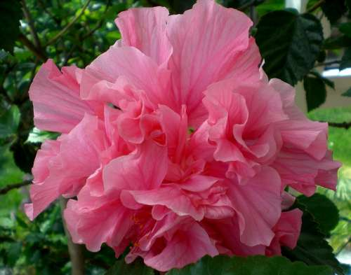 Hibiscus Blossom Bloom Flower Plant Marshmallow
