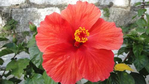 Hibiscus Flower Plant Red Garden Green Leaves