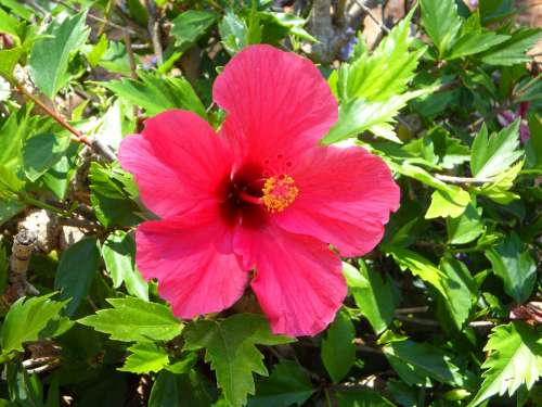 Hibiscus Flower Blossom Bloom Mallow Malvaceae