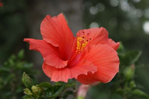 Hibiscus Flower Coral Pink Floral Tropical Summer