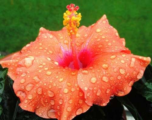 Hibiscus Orange Flower Blossom Bloom Raindrop