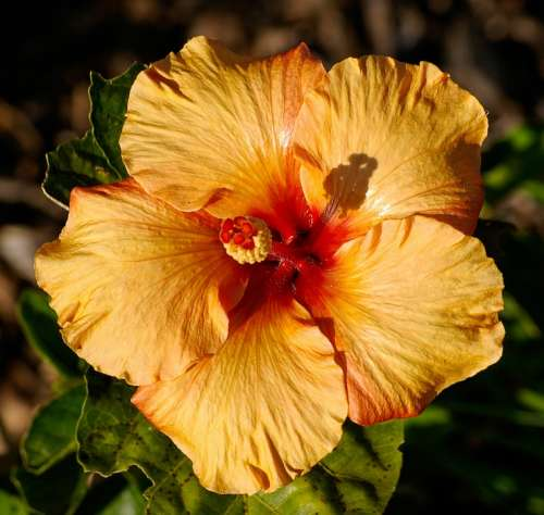 Hibiscus Flower Orange Gold Blossom Petals