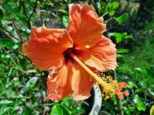 Hibiscus Rosa Orange Flower Nature Leaf Petal