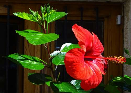 Hibiscus Nature Flower Red Garden Flora