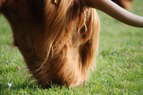 Highland Cattle Hairy Brown Farm Animal Horns