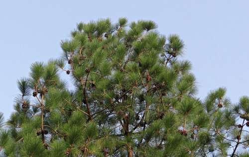 Himalayan Blue Pine Cone Himalayan Pine Bhutan Pine