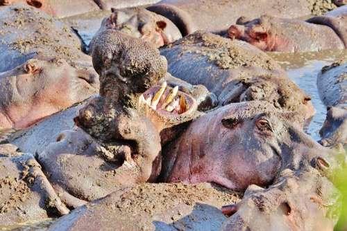 Hippo Hippopotamus Animal Africa Tanzania