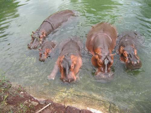 Hippo Africa Grey Wild Mammal Large