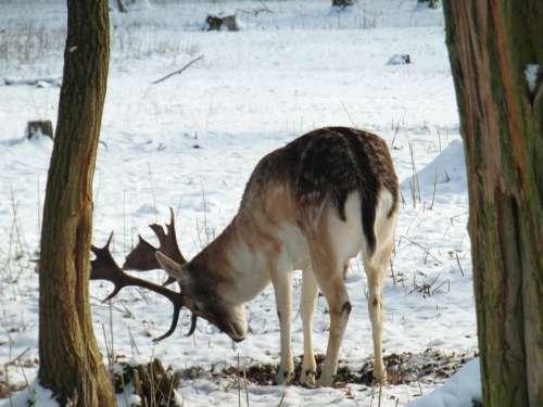 Hirsch Fallow Deer Winter Snow Forest Blade