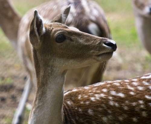 Hirsch Fallow Deer Ricke Forest Blade Flock Wild