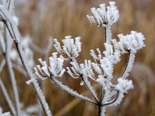 Hoarfrost Reed Winter Wintry Ice Icy Frost