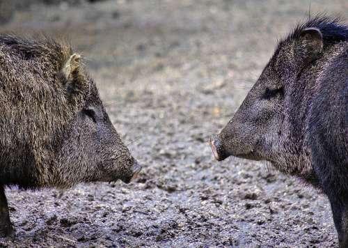 Hog Mammal Animal Boar Snout Brown Gray