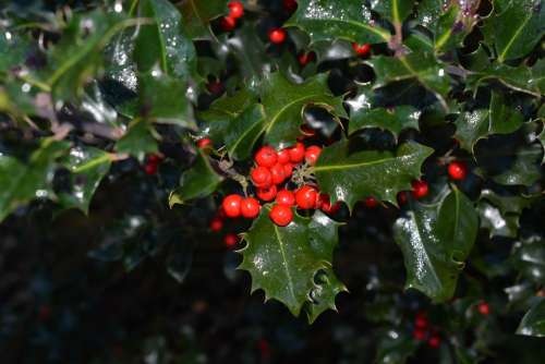 Holly Ilex Berries Red Plant Fruits