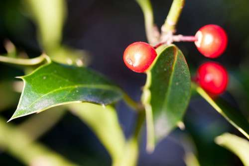 Holly Ilex Winter Berries Berries Christdorn