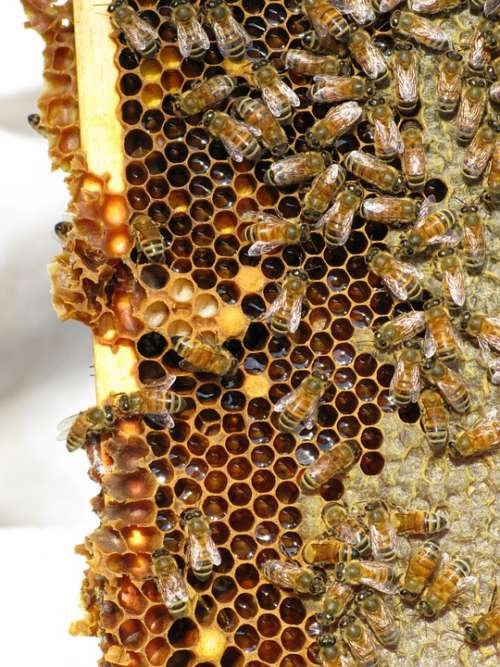Honey Bees Insect Social Insect Hive Bees Beehive