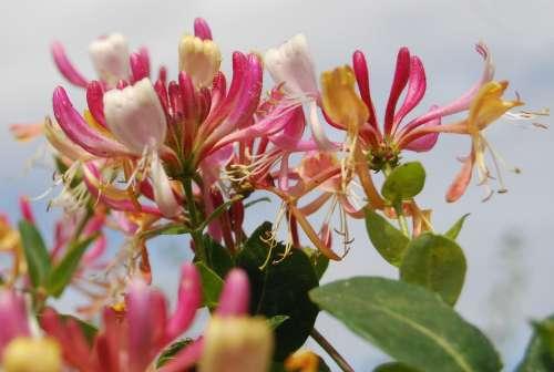 Honeysuckle Lonicera Close-Up Flower Summer