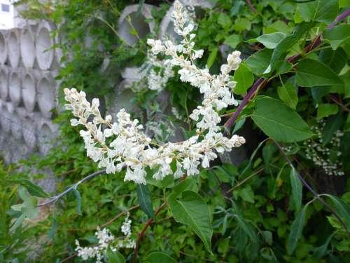 Honeysuckle Blossom Bloom White Evergreen Plant