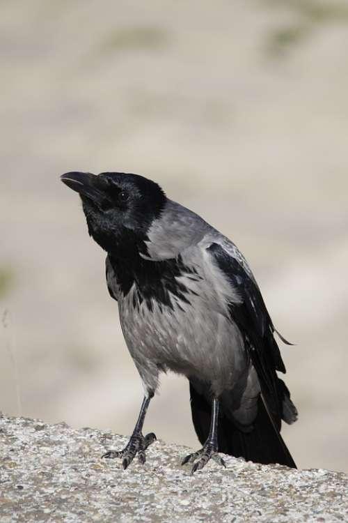 Hooded Crow Crow Bird Animal Wildlife Nature
