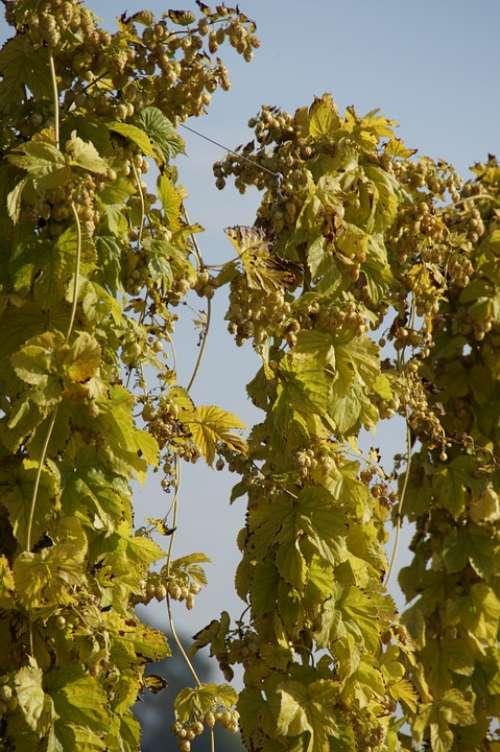 Hops Climber Plant Umbel Hops Fruits Beer Brewing