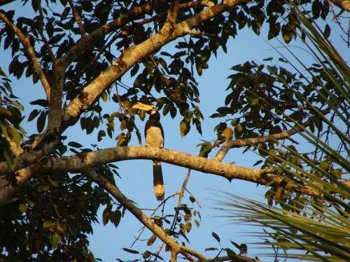 Hornbill Malabar Pied Bird Western Ghats Karnataka