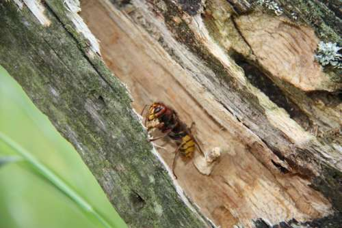 Hornet Wasp Insect Animal