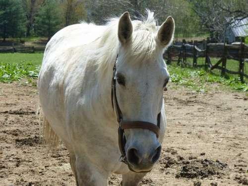 Horse Farm Animal Pet White Horse Farm Work