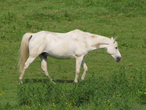 Horse White Mare Foal Meadow Grass Animal Horses