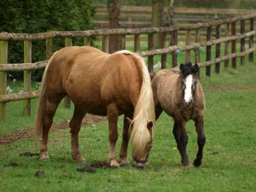 Horse Mare With Foal Foal Pasture Brown Mammal