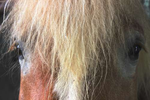 Horse Kaltblut Horse Head Mane Brown View