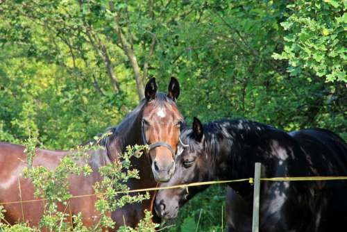 Horse Horses Animals Brown Meadow Trees