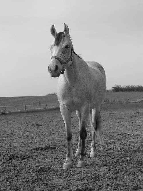 Horse White Pasture Standing Black And White