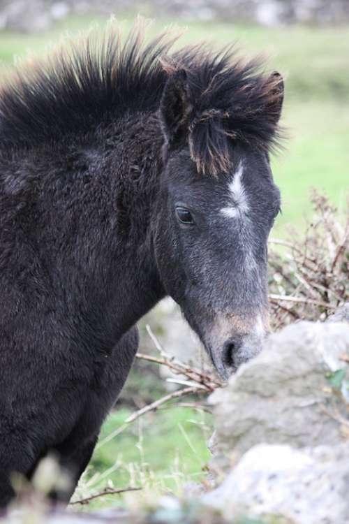 Horse Mane Wild Brado Hair Ireland Breed Typical