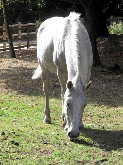 Horse Mare Stallion White Grazing Grass Paddock