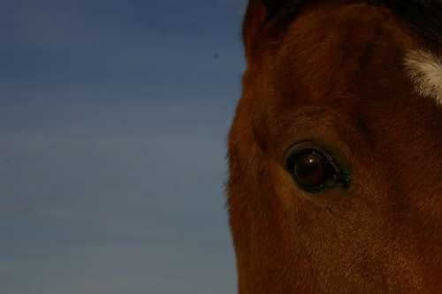 Horse Eye Animal