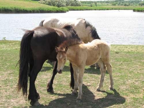 Horse Stallion Mare Ride Gelding Animal Farm
