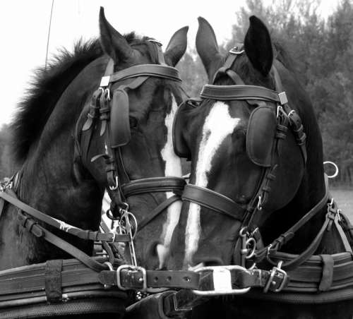 Horses Tactics Snack Driving Horses Animals