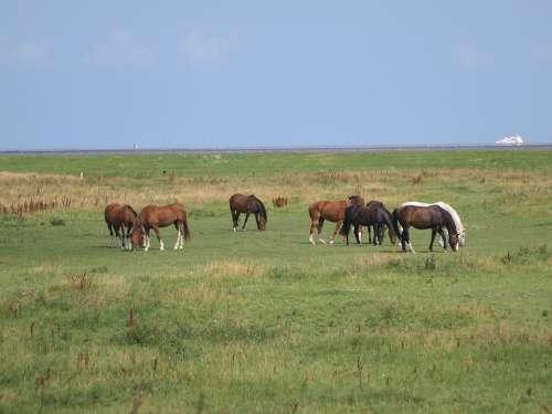 Horses Coupling Meadow North Sea East Frisia