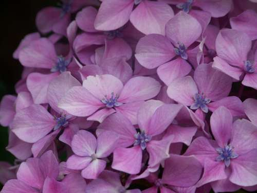 Hortensia Purple Flower Fauna Nature Beautiful