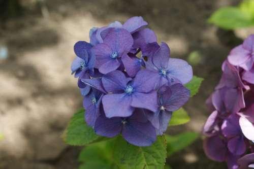 Hortensia Flower Garden