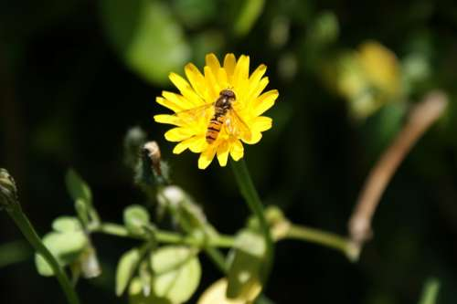 Hoverfly Flower Flower Fly Syrphid Fly Syrphus Fly