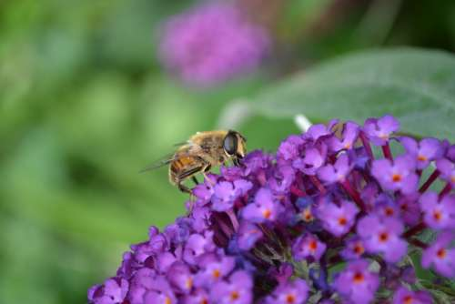 Hoverfly Hornet Mimic Volucella Zonaria Fly Insect