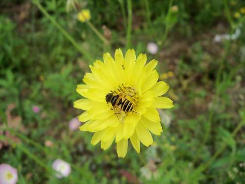 Hoverfly Flower Dandelion Nature Spring Summer