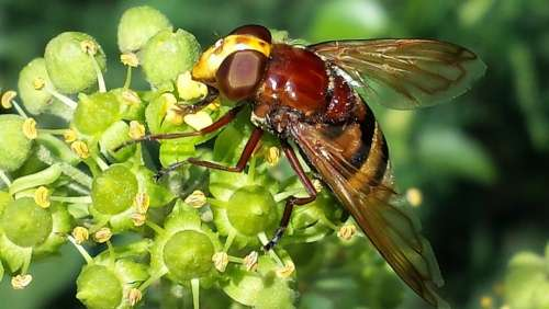 Hoverfly Insect Close Up Nature Pollination Nectar