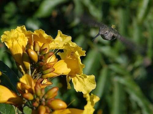 Hovering Flying Humming Hummingbirds Birds Animals