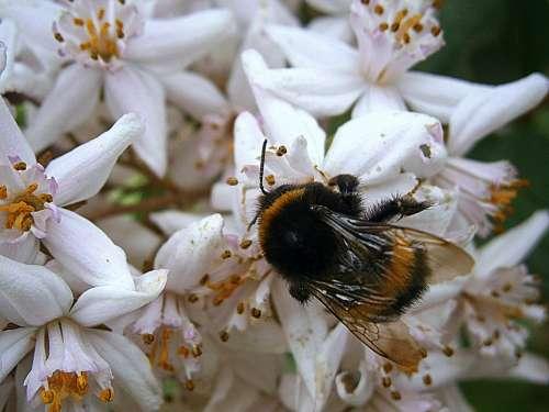 Hummel Bumblebees Bombus Drones People