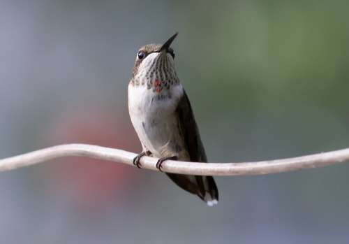 Hummingbird Juvenile Ruby Bird Nature Wildlife