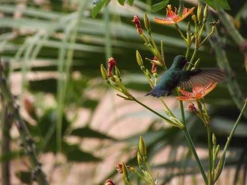 Hummingbird Nature Bird