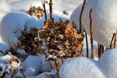 Hydrangea Nature Winter Snow Flower