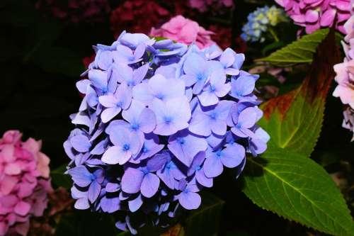 Hydrangea Blossom Bloom Blue Huge Beautiful Mood