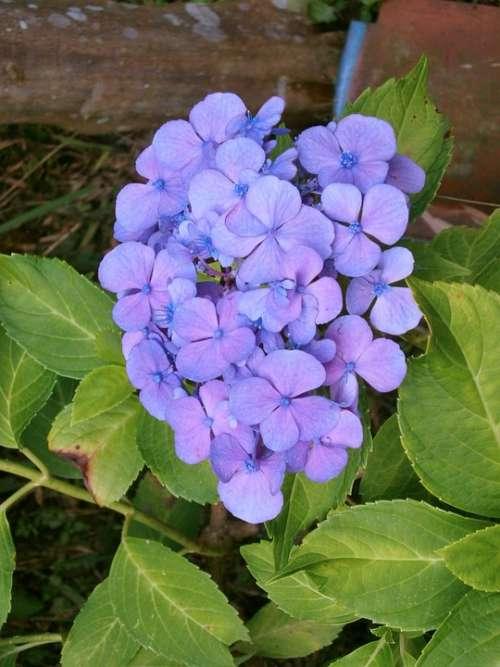 Hydrangea Purple Flowers